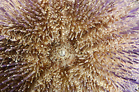 Common Sea Urchin mouth - Echinus esculentus
