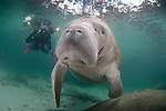 Curious Manatee wanting human interaction.  A phogographer waits safely aside.