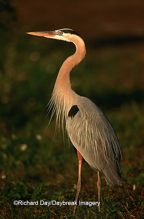 00684-015.19 Great Blue Heron (Ardea herodias)    FL