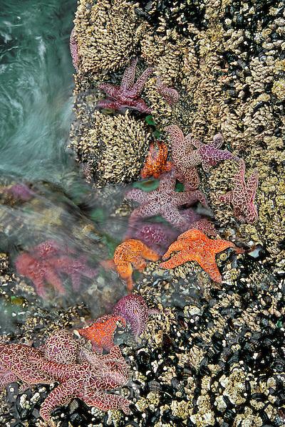 Sea stars in tidal zone  along the Oregon coast.