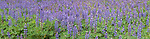 La Jolla, San Diego, California; a panoramic view of a field of Arizona Lupine (Lupinus arizonicus) flowering in the springtime
