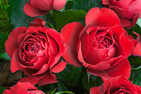 Red roses Rosa 'Carris' (Harminna) red, Rosa hybrid tea Carris 'Harmanna' aka Ruby 40th