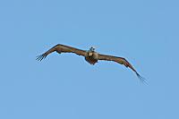 Approaching Brown Pelican in flight