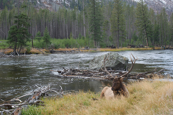 Elk, Wapiti, Cervus elaphus, bull resting,  Yellowstone NP,Wyoming, September 2005