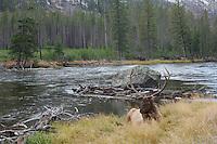 Elk, Wapiti, Cervus elaphus, bull resting,  Yellowstone NP,Wyoming, September 2005