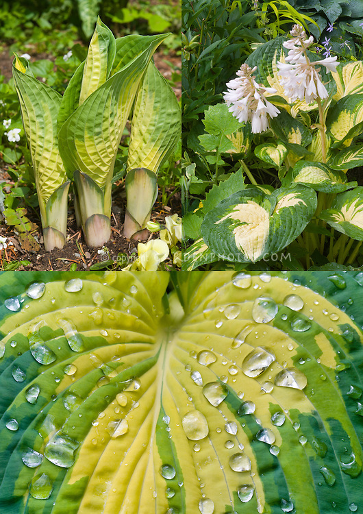 Hosta Great Expectations in three phases, new emerging young growth shoots, in flower, foliage with dewdrops rain water droplets, composite picture