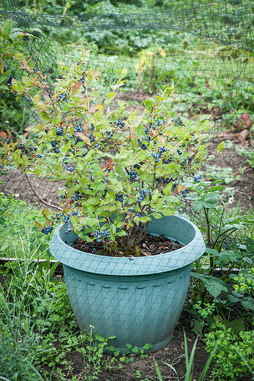 Blueberry bush grown in a container of ericaceous soil.