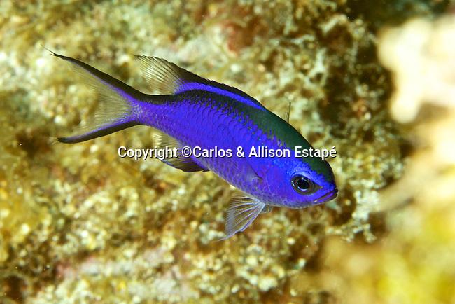 Chromis cyanea, Blue chromis, Florida Keys