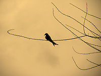 Stock photo of Black-drongo silhouette sitting on dry branch in the dusk.<br />