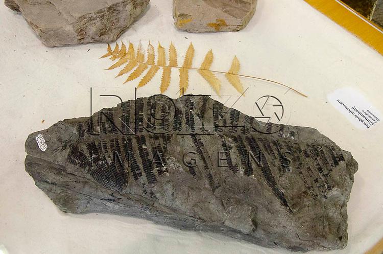 Planta fossilizada, Pecopteris arborescens (Samambaia), Carbonífero, Alemanha. Museu Geológico Valdemar Lefèvre, São Paulo - SP, 07/2014.