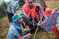 Maasai men shoot a cow in the jugular with a blunt arrow, at a circumcision ceremony.