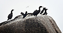 THE ISLES OF SCILLY SEABIRD RECOVERY PROJECT. SHAGS AND RAZORBILLS IN THE WESTERN ROCKS.<br /> 17/06/2015. PHOTOGRAPHER CLARE KENDALL.