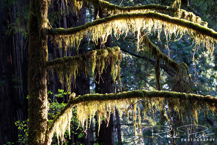 Moss covered branches at prairie creek redwoods state park in Northern California near the town of Orick.