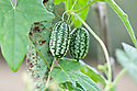 Mexican sour gherkin or mouse melon (Melothria scabra), a sort of miniature cucumber with a slightly sour taste. Also known as cucamelon, sandita, Mexican miniature watermelon, or Mexican sour cucumber.