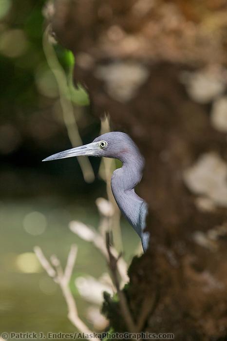 Heron, Tortuguero, Costa Rica, Central America.