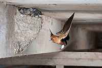 Barn Swallow (Hirundo rustica), Dinero, Lake Corpus Christi, South Texas, USA