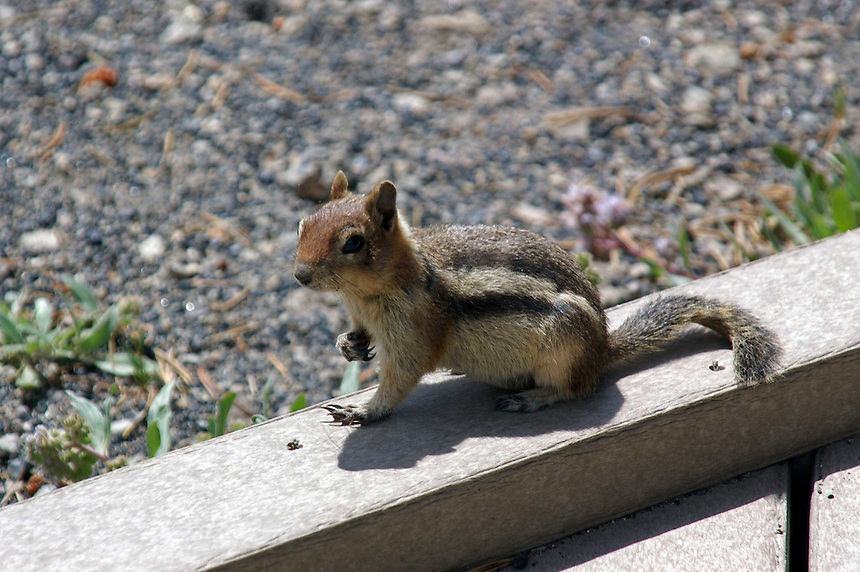 Golden-mantled ground squirrel, Yellowstone National Park