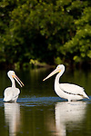 Ding Darling National Wildlife Refuge, Sanibel Island, Florida; a pair of American White Pelican (Pelecanus erythrorhynchos) birds in the shallow water of the refuge © Matthew Meier Photography, matthewmeierphoto.com All Rights Reserved
