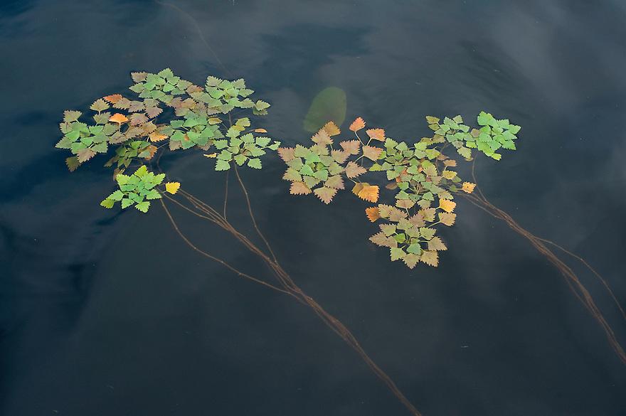Water caltrop (Trapa Natan) in the lake, Lake Skadar National Park, Montenegro