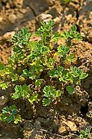Gewöhnlicher Ackerfrauenmantel, Acker-Frauenmantel, Aphanes arvensis, parsley-piert, field parsley piert