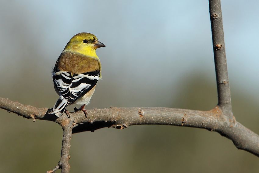 American Goldfinch in winter plumage.Spring males are brilliant yellow and shiny black with a bit of white. Females and all winter birds are more dull but identifiable by their conical bill; pointed, notched tail; wingbars; and lack of streaking.
