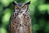 35-B01-OGH-010   GREAT HORNED OWL (Bubo virginianus), western Cascade Mountains, Washington, USA.