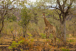 South African Giraffe (Giraffa giraffa giraffa) sub-adult in bushveld, Kruger National Park, South Africa