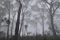 Australian Bushland In Early Mist, New South Wales, Australia