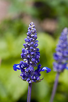 Salvia farinacea Cathedral Deep Blue in bloom closeup