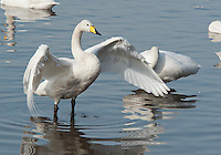 From November until March 2,000 Whooper swans migrate from Iceland to spend the winter in West Lancashire - a spectacle that is unique to the North West. The swans are fed to grain or waste potatoes to try to keep them on the reserve and away from farmer's fieds.