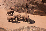 Namibia;  Namib Desert, Skeleton Coast,  desert elephants (Loxodonta africana) walking through canyon in dry river bed