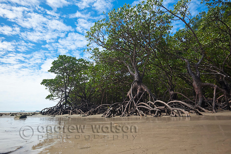 Mangrove forest at low tide.  Cape Tribulation Beach, Daintree National Park, Queensland, Australia