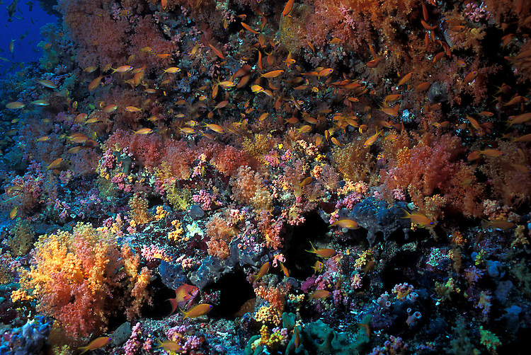 Soft corals, coral caverns, Dendronephtya sp.Multi hues colours.Maldives, atolls, islands, tropics, sea life, fish life, holiday, lifestyle, Indian Ocean, blue sky, lagoon, coral reefs