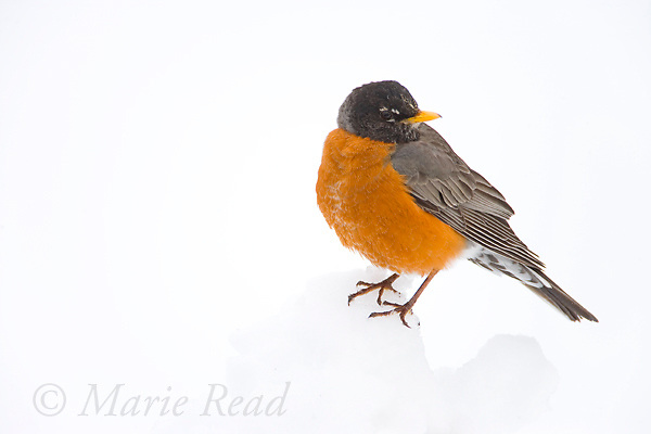 American Robin (Turdus migratorius) male perched in snow, New York, USA