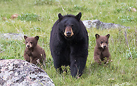 Yellowstone Spring 2015 Bears