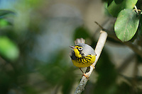 Canada Warbler (Wilsonia canadensis), male perched, South Padre Island, Texas, USA
