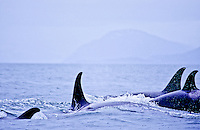 Orca, Prince William Sound Alaska