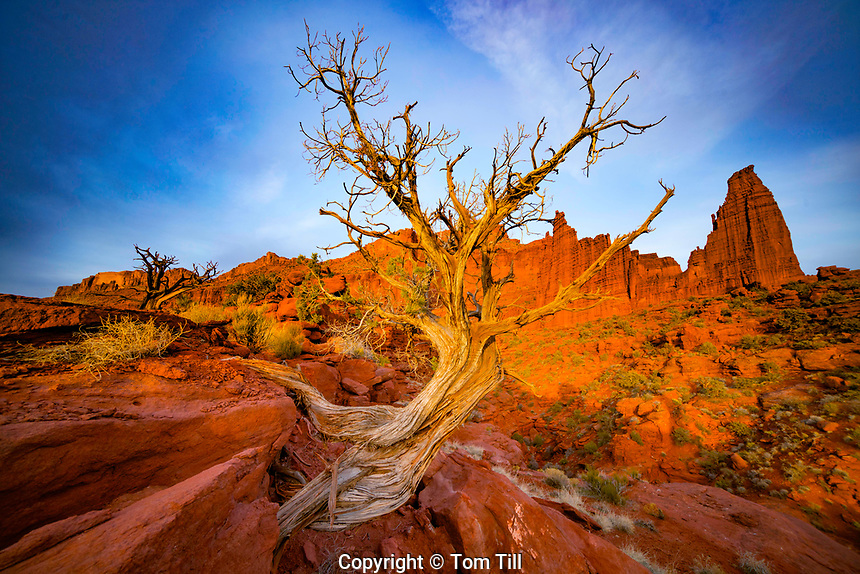 Juniper tree and the Titan, Fisher Towers, Utah BLM Proposed Wilderness, Near Moab, Colorado River