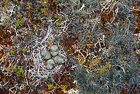 Nest and eggs of Ruddy Turnstone (Arenaria interpres) on tundra. Yukon Delta National Wildlife Refuge. Alaska. June.