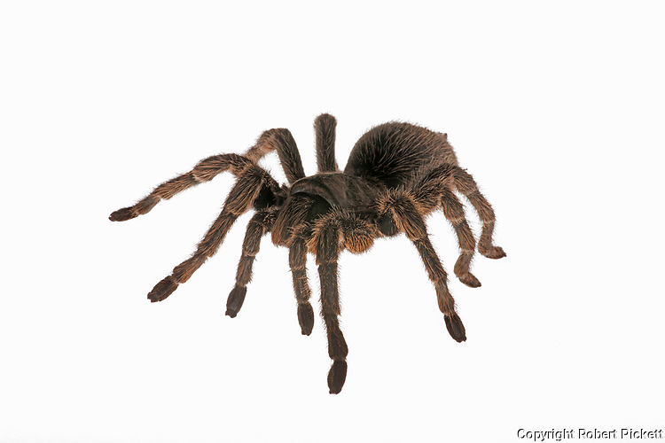 Chilean Rose Tarantula, Grammostola rosea, female, cut out, white background, studio,