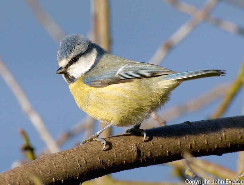Blue Tit on a branch.