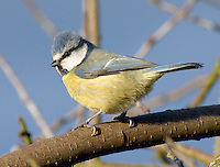 Blue Tit on a branch.