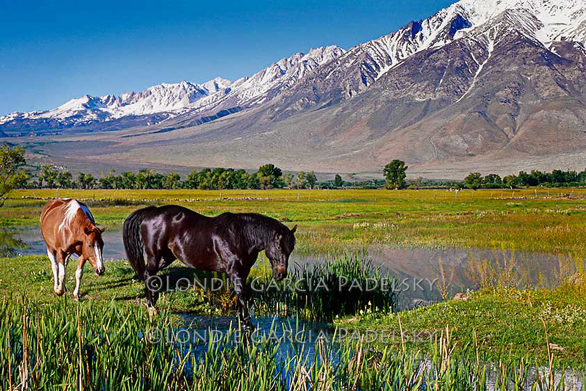 Horses grazing in the Owens Valley, Eastern Sierra, California