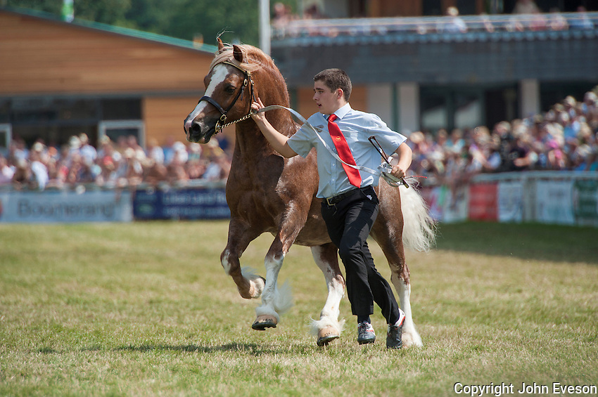 Welsh Cob at Royal Welsh Show, Builth Wells, Powys.