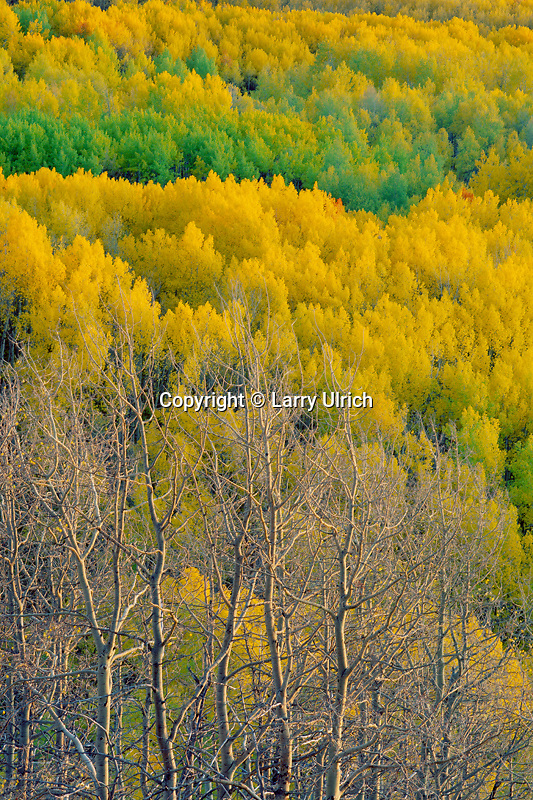 Aspens, Grouse Spring Creek Valley<br />