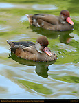 Red-Crested Pochards, Female and Eclipse Plumage Non-Breeding Male, Southern California