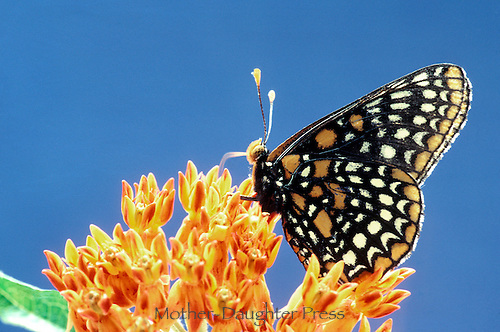 Eat local, eat fresh: Baltimore Butterfly, Euphydryas phaeton, drinking nectar from butterfly weed through probiscis like a straw