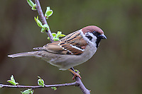 Feldspatz, Feld-Spatz, Feldsperling, Feld-Sperling, Spatz, Sperling, Passer montanus, tree sparrow