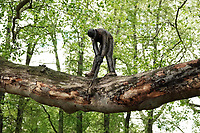 Nederland - Amsterdam - 2019.  Het Boomzagertje op een plataan bij het Leidseplein. Het bronzen beeldje is circa 30 jaar geleden gemaakt en geplaatst door een onbekende kunstenaar.  Foto Berlinda van Dam / Hollandse Hoogte