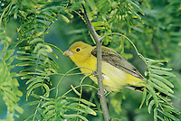 Scarlet Tanager, Piranga olivacea,female on Mesquite tree, South Padre Island, Texas, USA, May 2005
